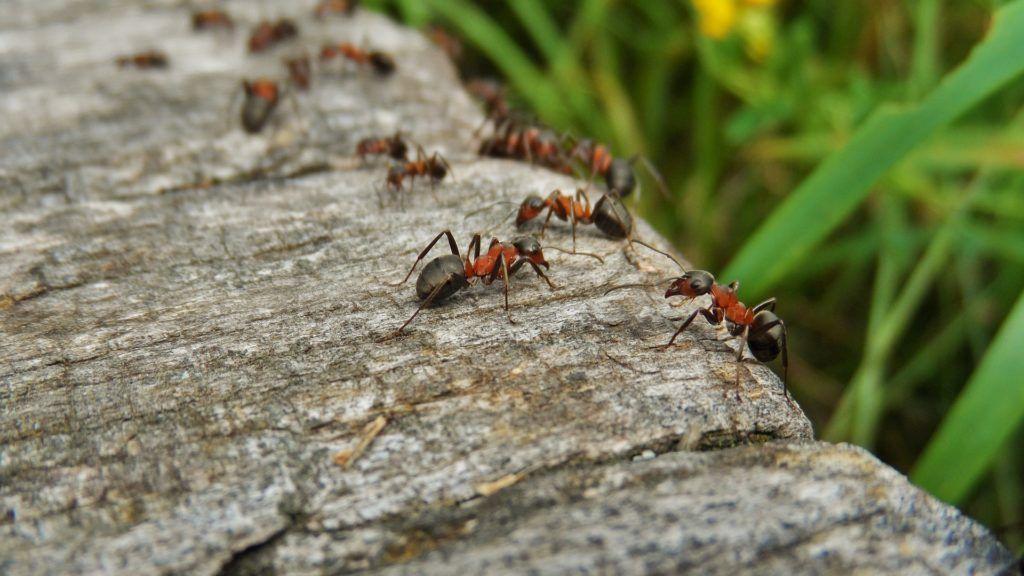 ízületi hangyák kezelése)