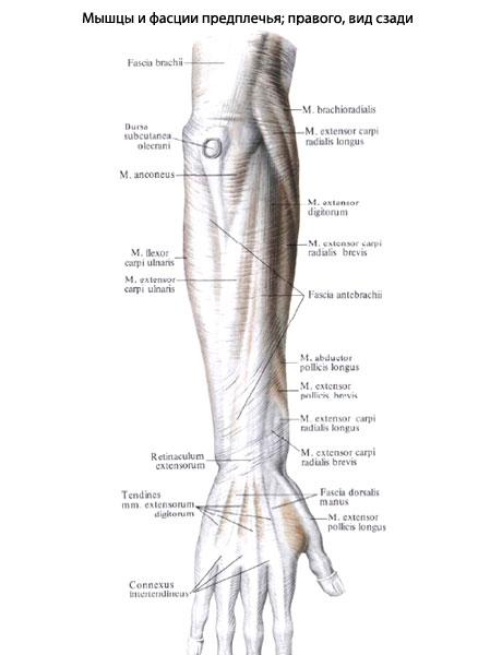 Az ulna distalis epiphyseolysisének ritka esete - PDF Free Download
