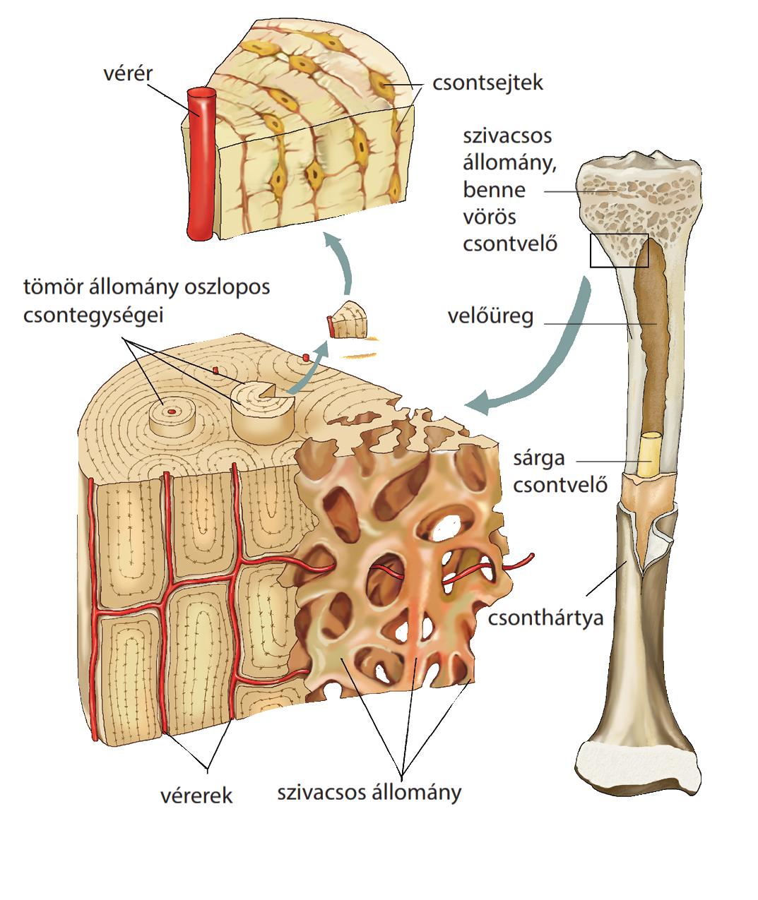 a csontok ízületei gyógyulnak)