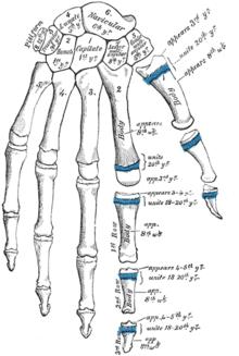 a csontok és a kezek ízületei