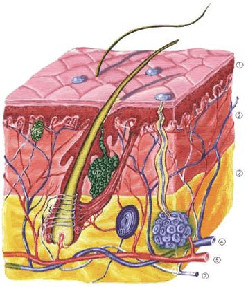 hogyan néz ki a kötőszövet porc