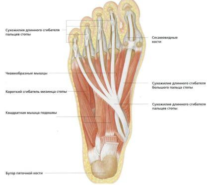 fájdalom az egyik lábán a metatarsális ízületekben)