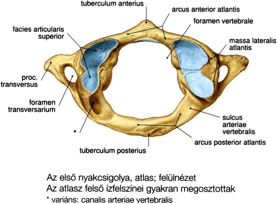 A törzs anatómiája I. Csontok Csontok és ízületek.