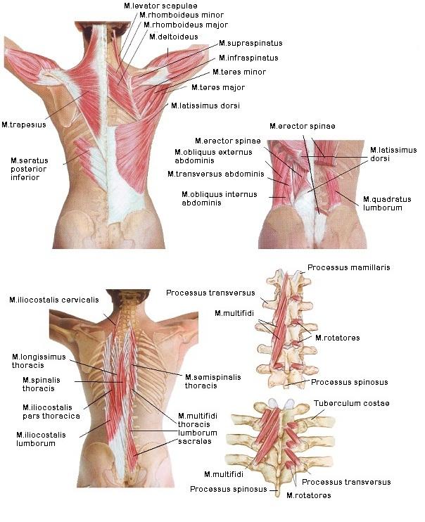 fájdalom a mellkasi gerinc ízületeiben)