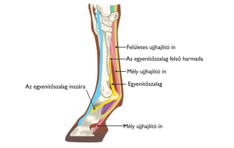 emberek gyógyítani az ízületek miért fáj a futás a csípőízületről